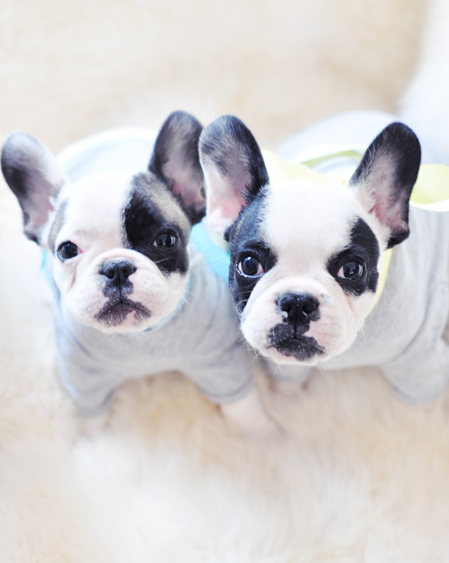 Trevor and Randy in tshirts-french bulldog puppies