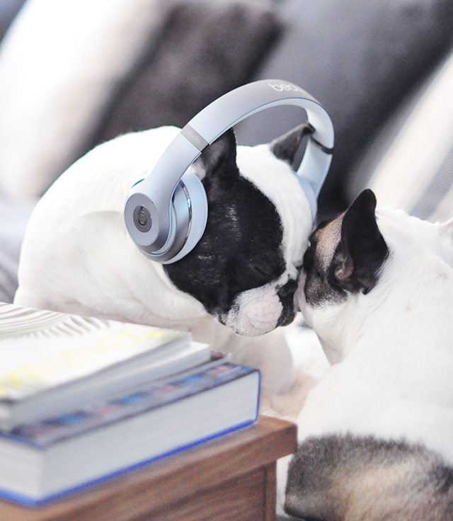 Trevor_Beats by Dre_headphones on a dog series-10