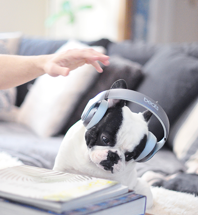 Trevor_Beats by Dre_headphones on a dog series-11