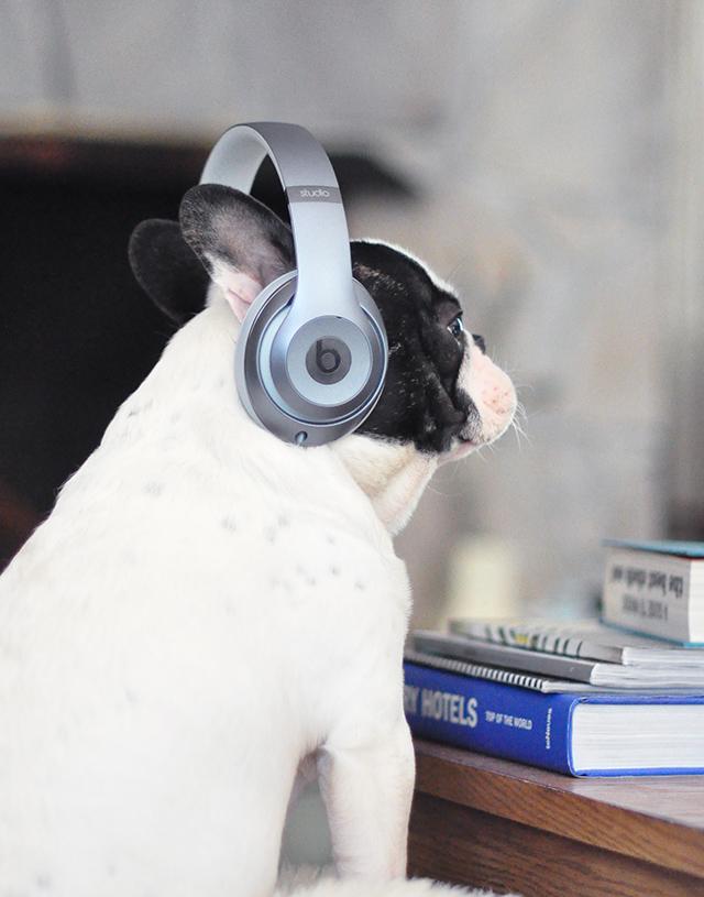 Trevor_Beats by Dre_headphones on a dog series-2