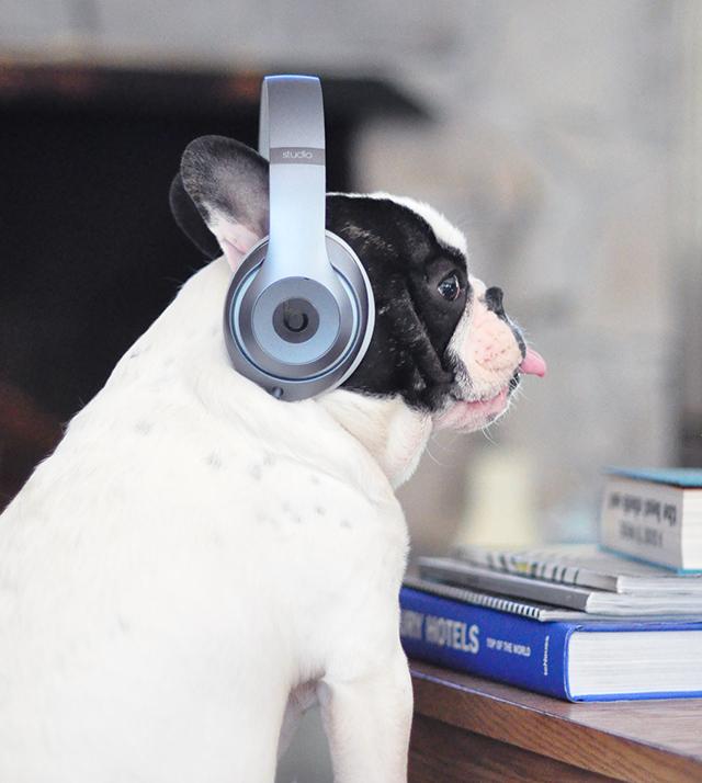 Trevor_Beats by Dre_headphones on a dog series-3