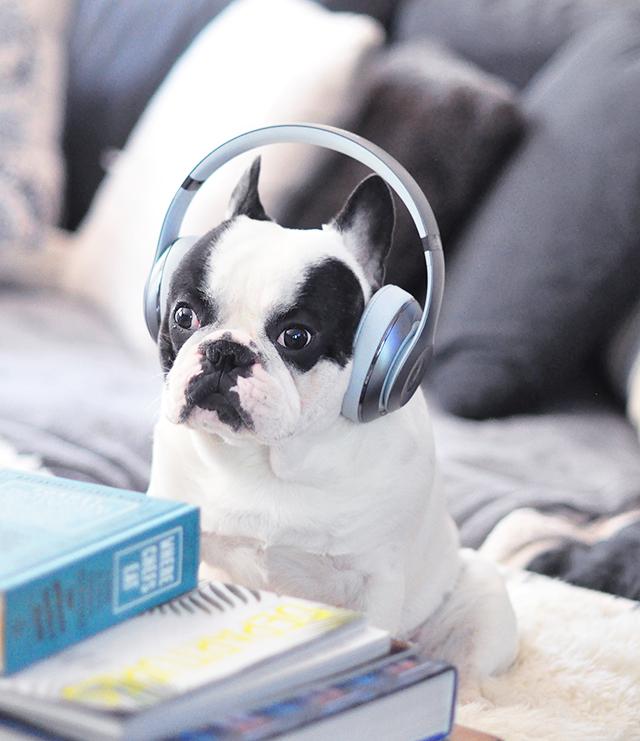 Trevor_Beats by Dre_headphones on a dog series-6