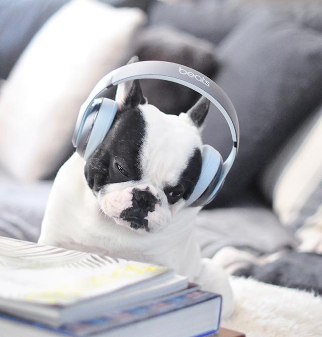 Trevor_Beats by Dre_headphones on a dog series-9
