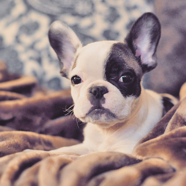 baby frenchie randy