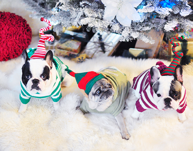 christmas dogs -frenchies and a pug