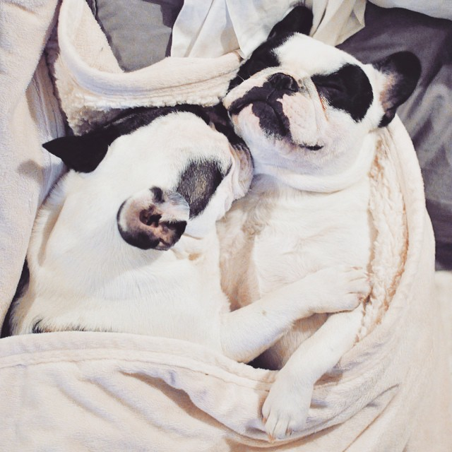 cuddling french bulldogs