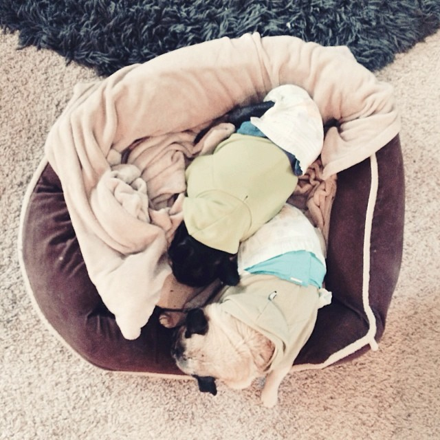 dogs in diapers