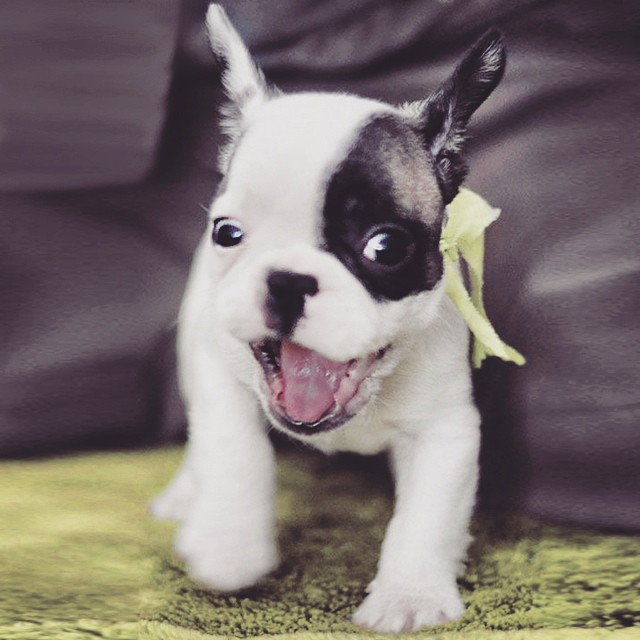 excited frenchie puppy