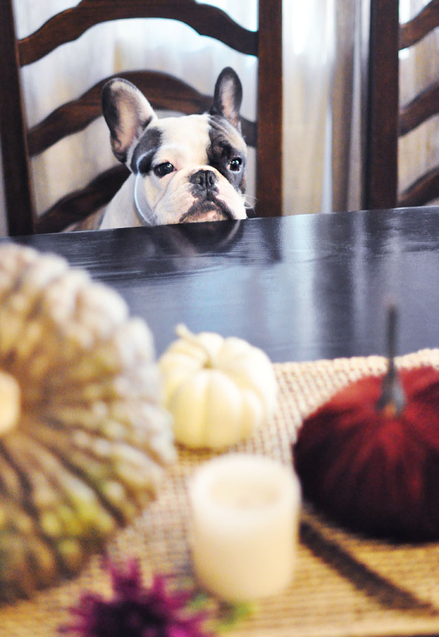 french bulldog at the dinner table