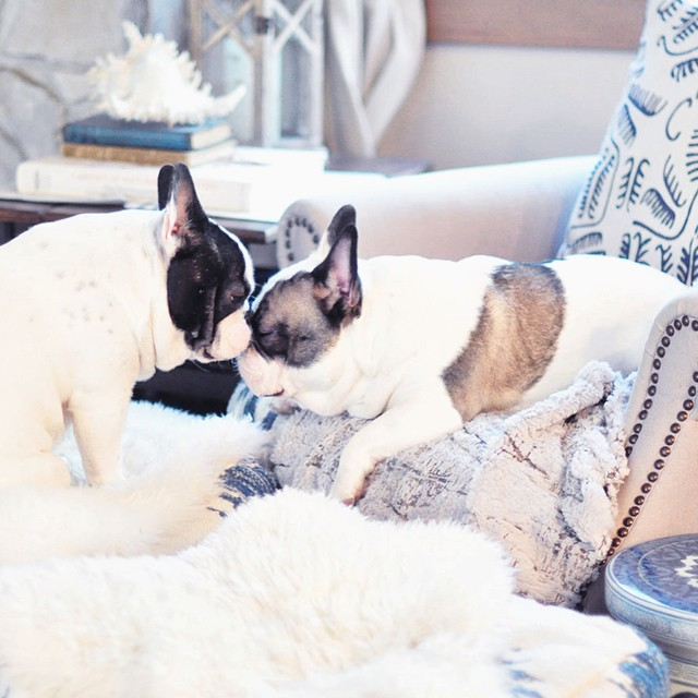 french bulldog brother kisses