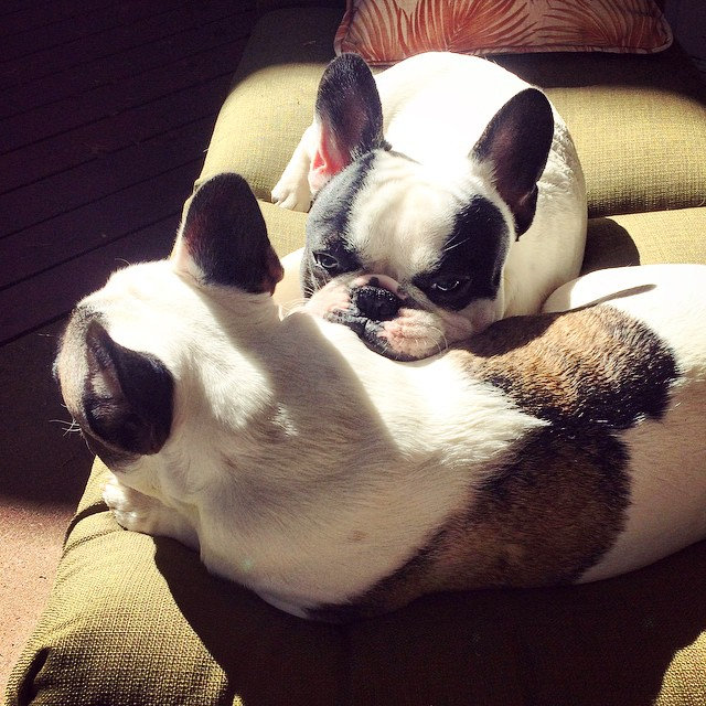 french bulldog brothers