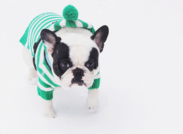 french bulldog in the snow-striped sweater
