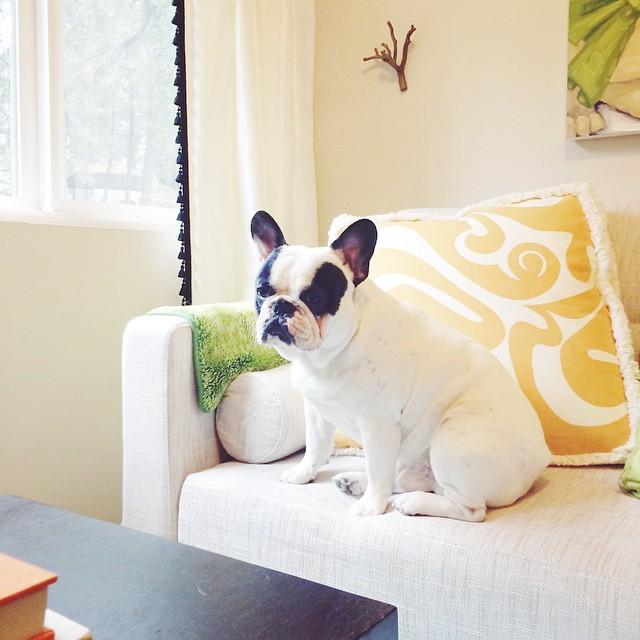 french bulldog matches room