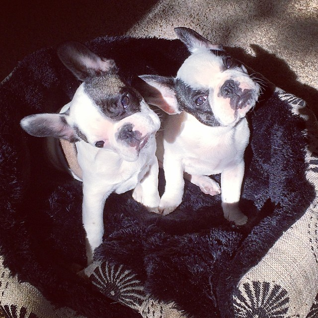 french bulldog puppies looking up