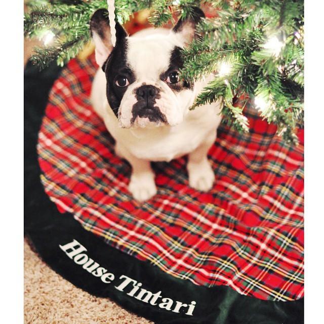 french bulldog under the tree