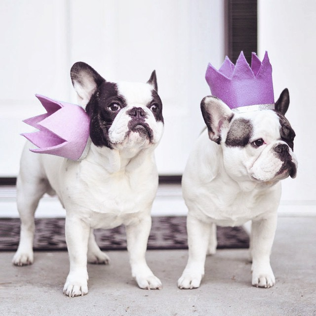 french bulldogs with crowns