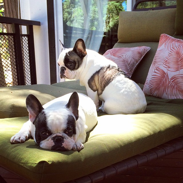frenchie brothers enjoying the sun