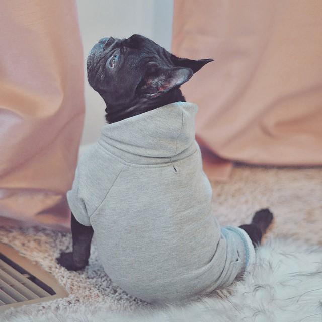 frenchie dog in sweatshirt
