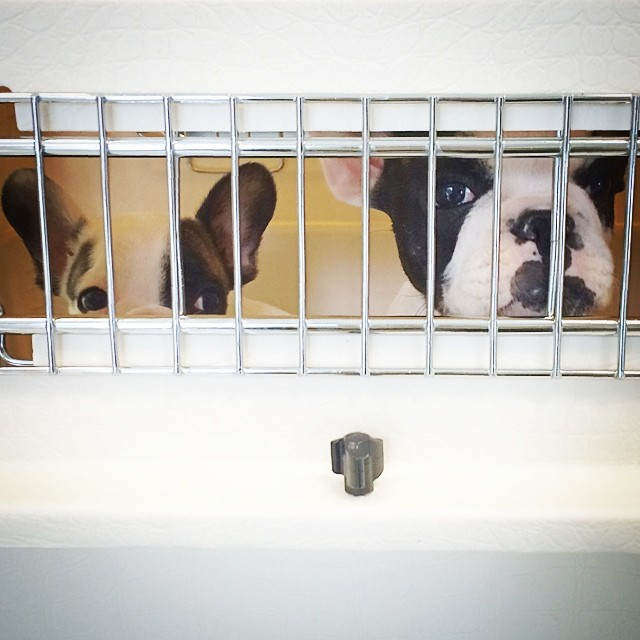 frenchie puppies caged