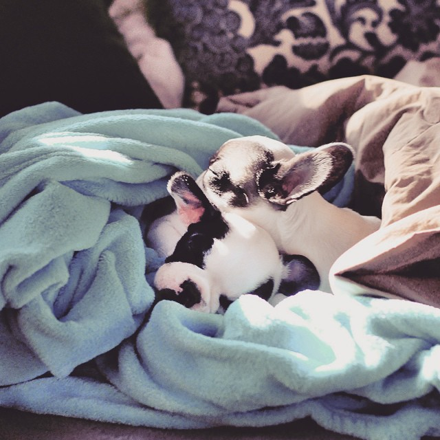 frenchie puppies sleep together