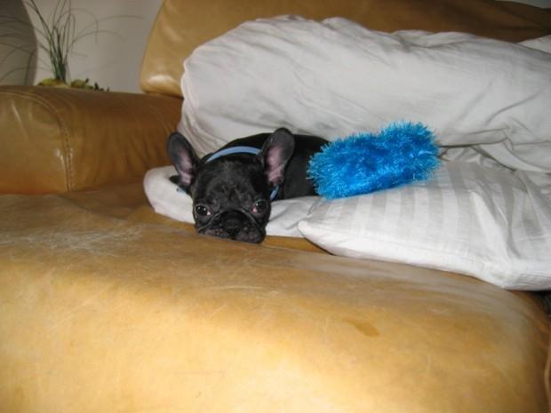 frenchie-puppy-leroy-lovemaegan-10