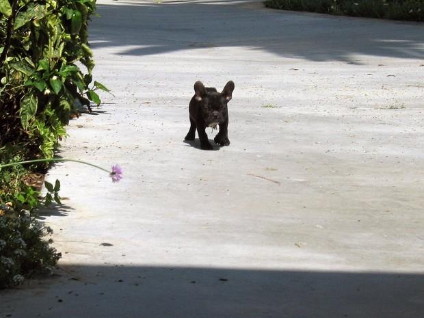 frenchie-puppy-leroy-lovemaegan-12