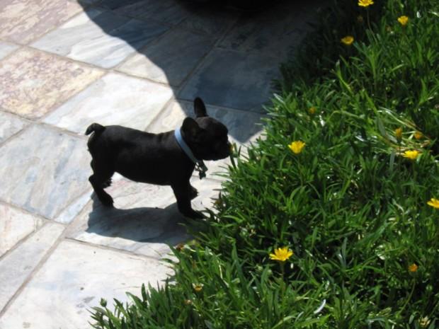 frenchie-puppy-leroy-lovemaegan-13