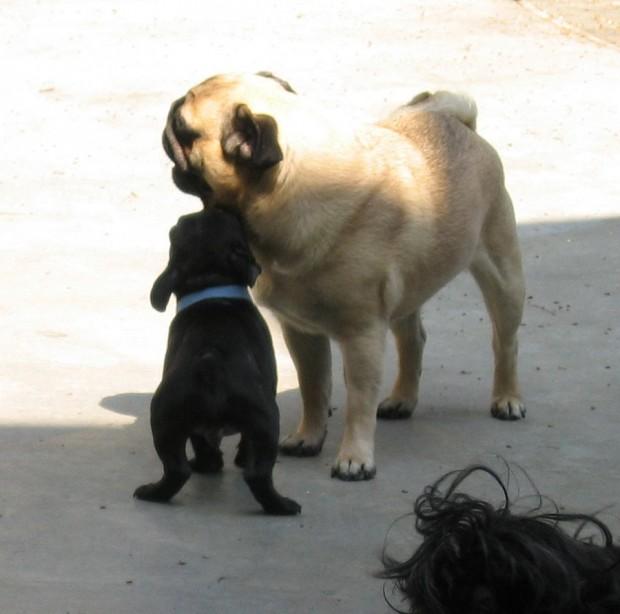 frenchie-puppy-leroy-lovemaegan-15
