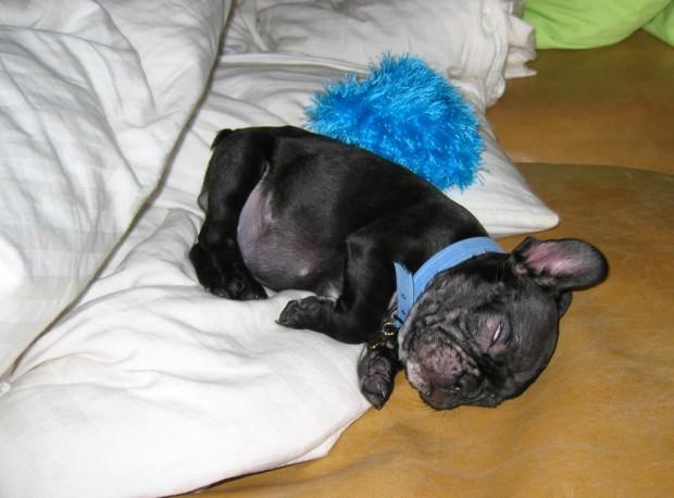 frenchie-puppy-leroy-lovemaegan-27
