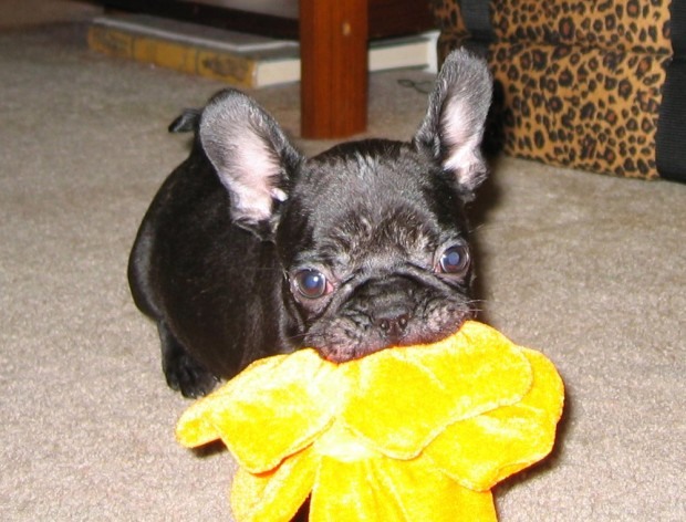frenchie-puppy-leroy-lovemaegan-3