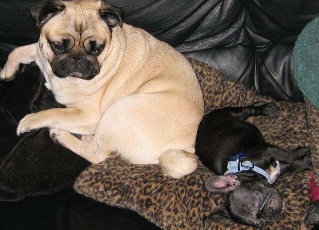 frenchie-puppy-leroy-lovemaegan-35