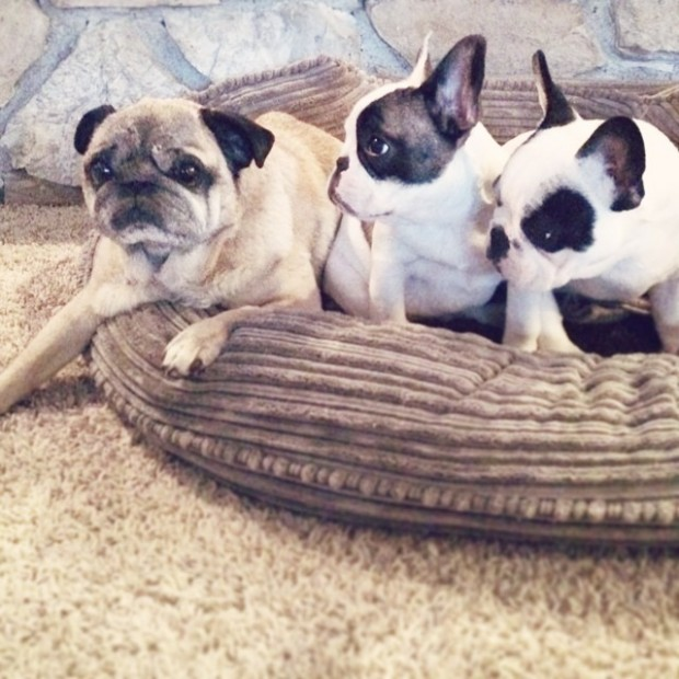 frenchie pups and a pug