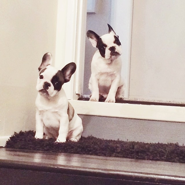 frenchie pups at the top of the stairs