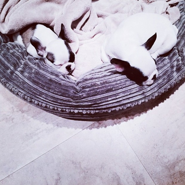 frenchie pups sleeping