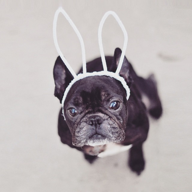 frenchie with bunny ears