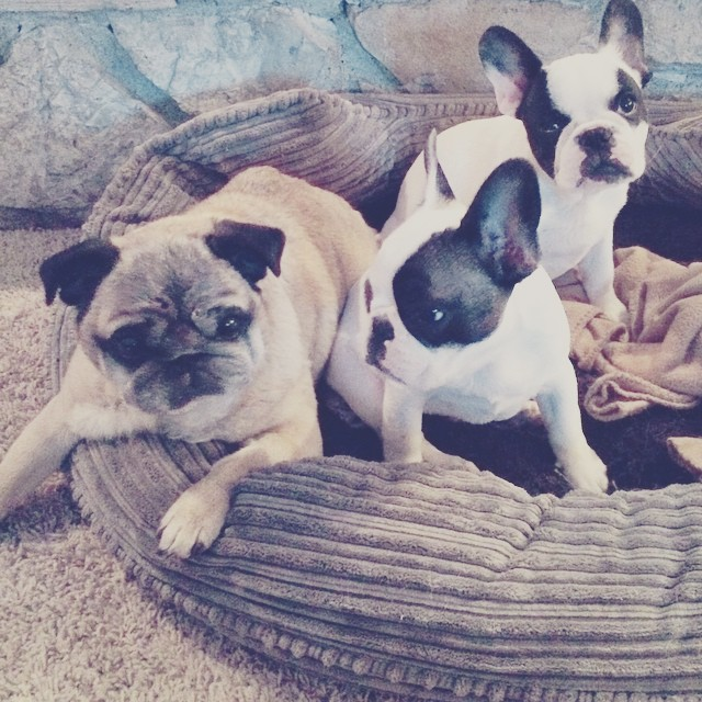 frenchies and a pug