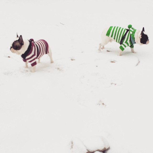 frenchies in the snow-in striped sweaters