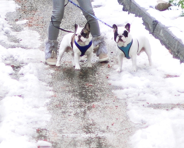 frenchies-in-the-snow