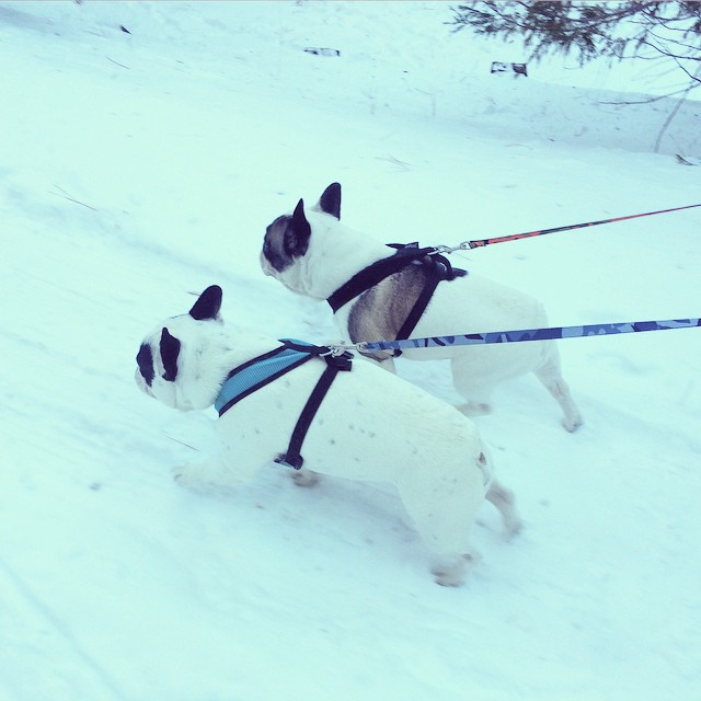 frenchies on leash walking in the snow