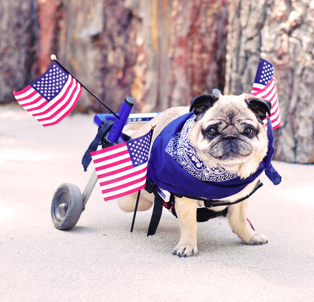 happy 4th of july patriotic pug  in wheels