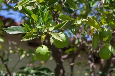 lemon lime tree