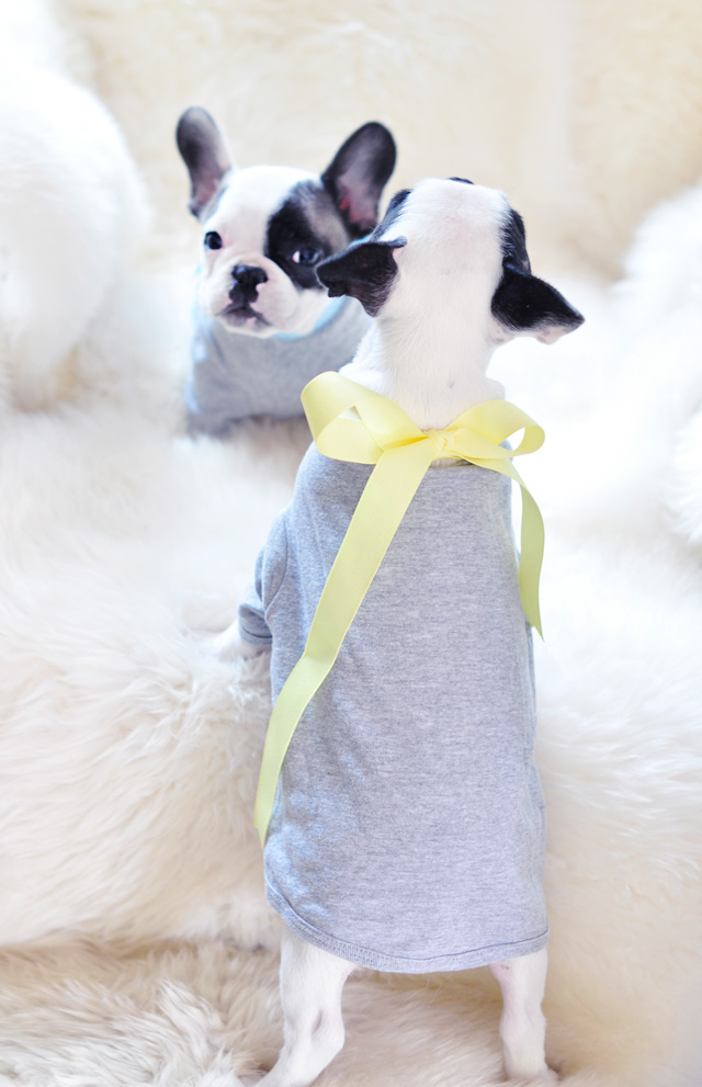 little french bulldogs in t-shirts-trevor and randy