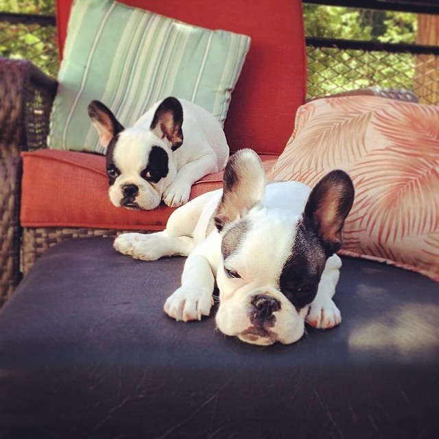 lounging puppies on the patio