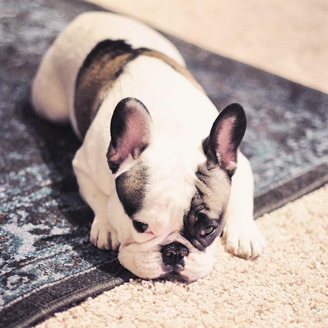 monday-french bulldog laying on a rug