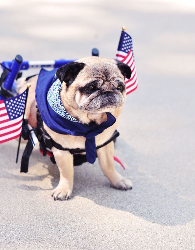 patriotic pug in wheelchair s