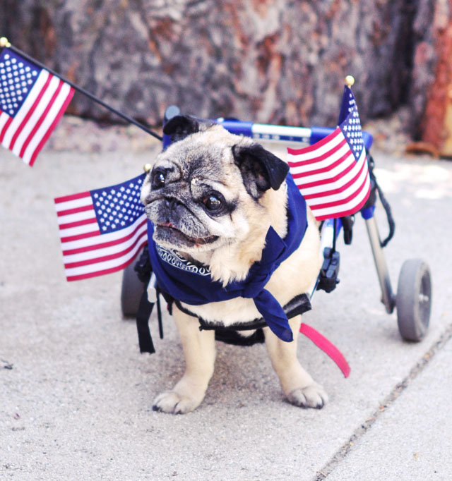 patriotic pug in wheels with flags 4th of july