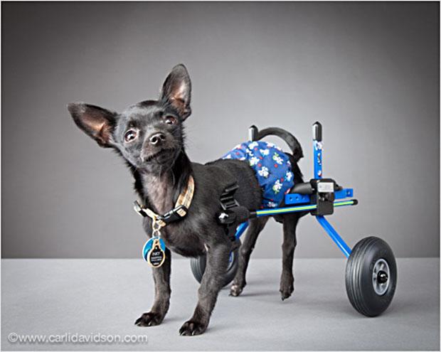 pets in wheels-3