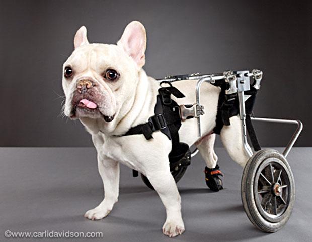 pets in wheels-4