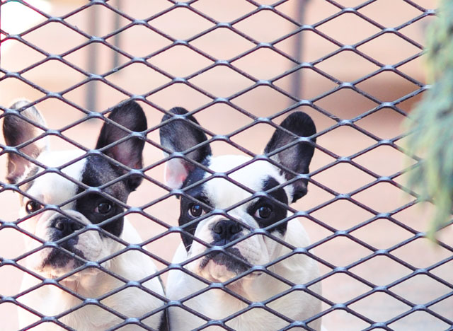 pied frenchies behind the fence