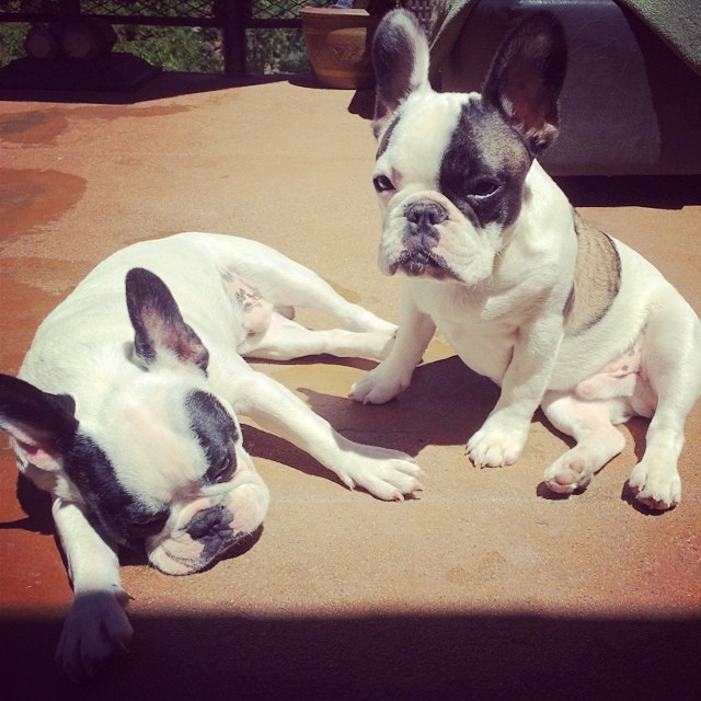 pied frenchies